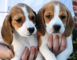 Procuro Nda Para Cão Beagle Porto-3231