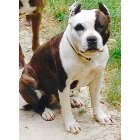 Uncios Bull Terrier Palmas-8492